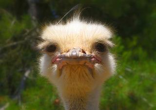 ostrich-992753_320